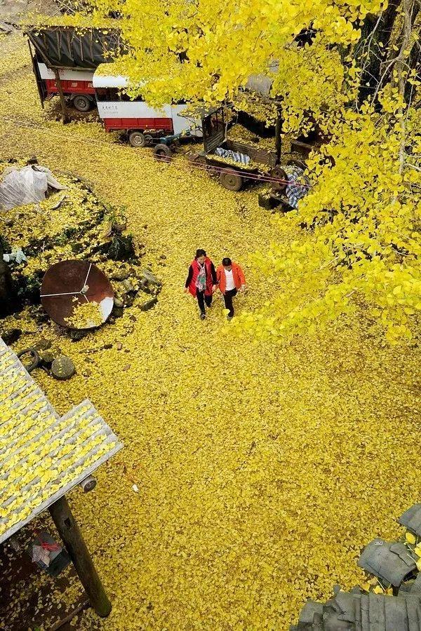 桂林周末去哪耍 | 这里的银杏黄了!拍照、吃土鸡、摘红提…约约约