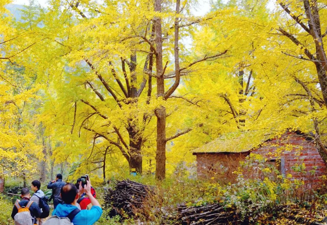 桂林海洋乡银杏已进入最佳观赏期,大方旅游邀你赏银杏拍美照